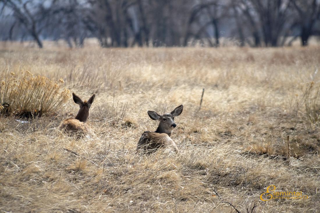 Deer at Rocky Mountain Arsenal